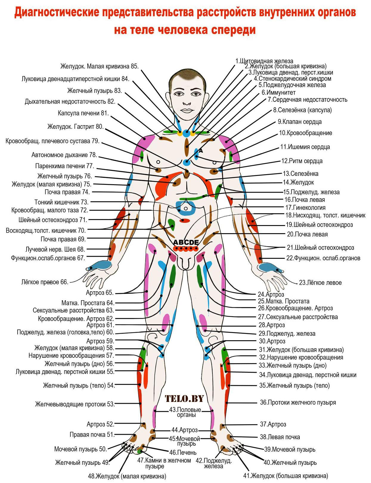 Схема человека органы